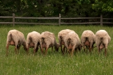 a row of sheep backsides