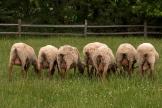 a row of sheep backsides