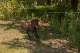 little brown horse running