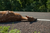 dead deer lying on Farmer's Turnpike, Douglas County, KS