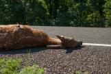 dead deer lying on Farmer's Turnpike, Douglas County, KS