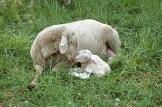 Sheep in Weimar