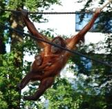 Orangutan mother & baby