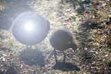 moorhen chicks see the light