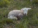 lamb lying on grass