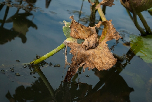 Dried Lilypad
