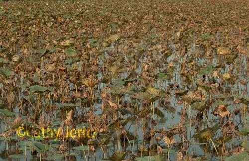 DSC_0387 lily pad landscape small