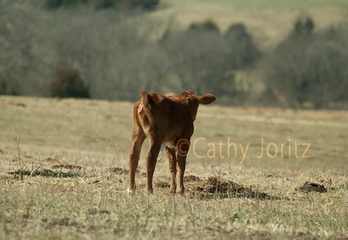 DSC_0001-2 calf looking to the future small