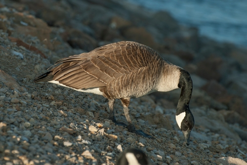 DSC_0084 male goose in light small